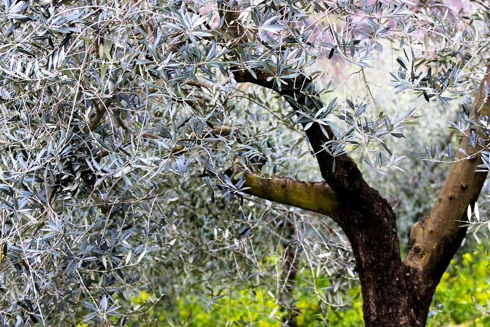 Puglia Olive tree.jpg