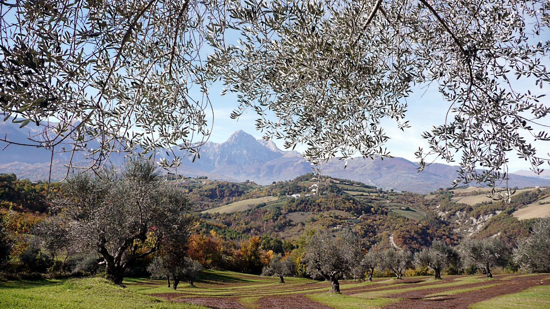 Abruzzo Natural Parks - abruzzo olive trees pix.jpg
