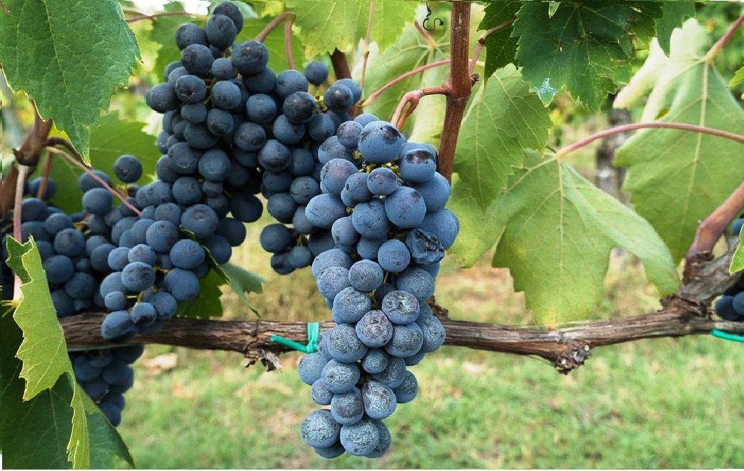Main and Thumbnail Greenbelt of Abruzzo - Winegrowing1.jpg
