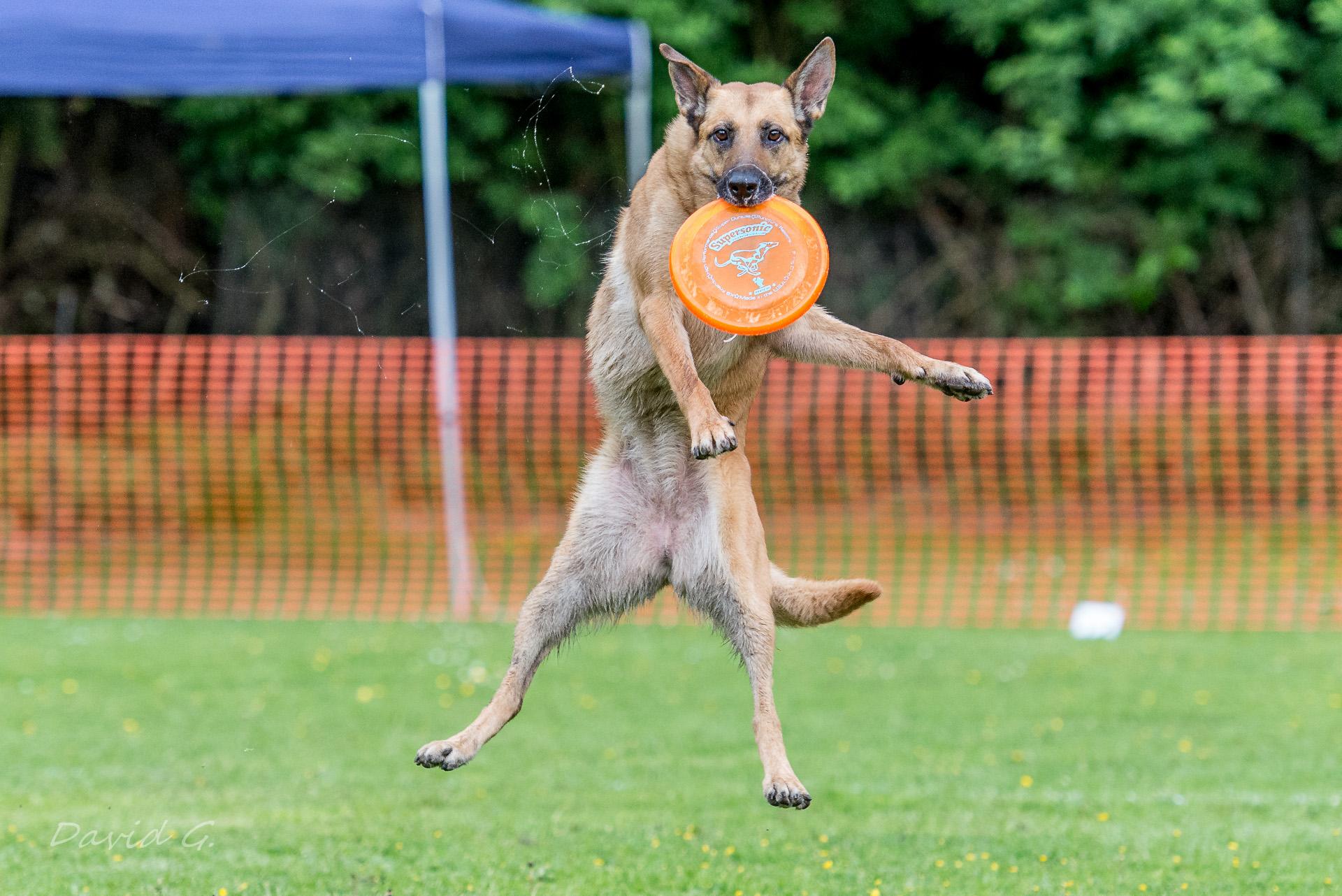 Hund fängt Frisbee bei Dog-Frisbee Event in Köln
