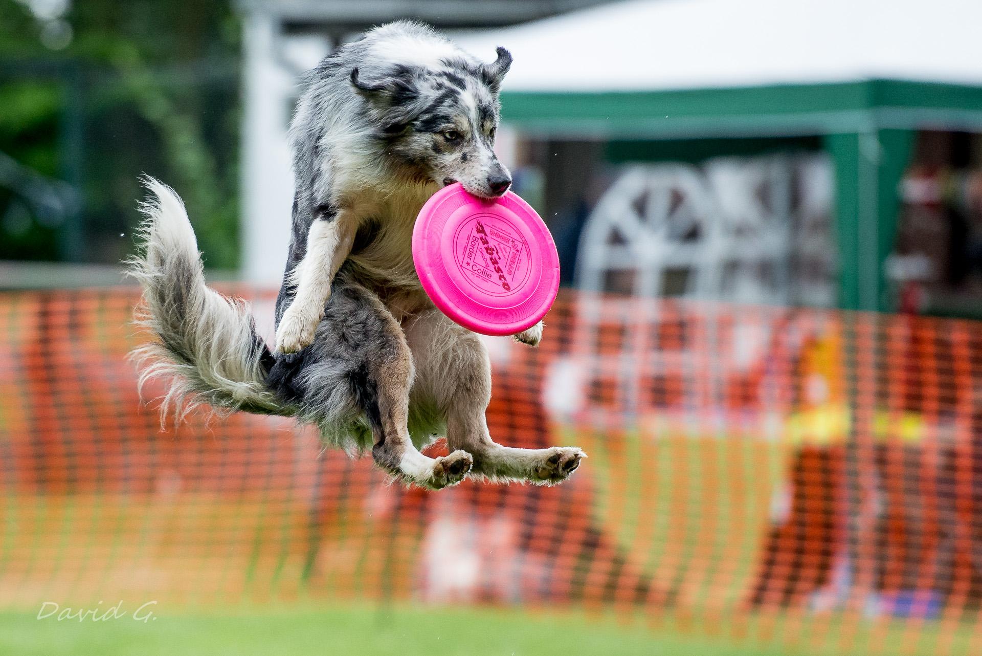 gelangweilter Hund fängt Frisbee bei Dog-Frisbee Event in Köln