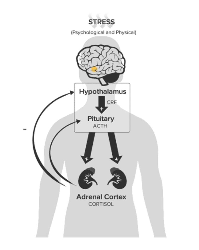 stress_hypothalamus.png