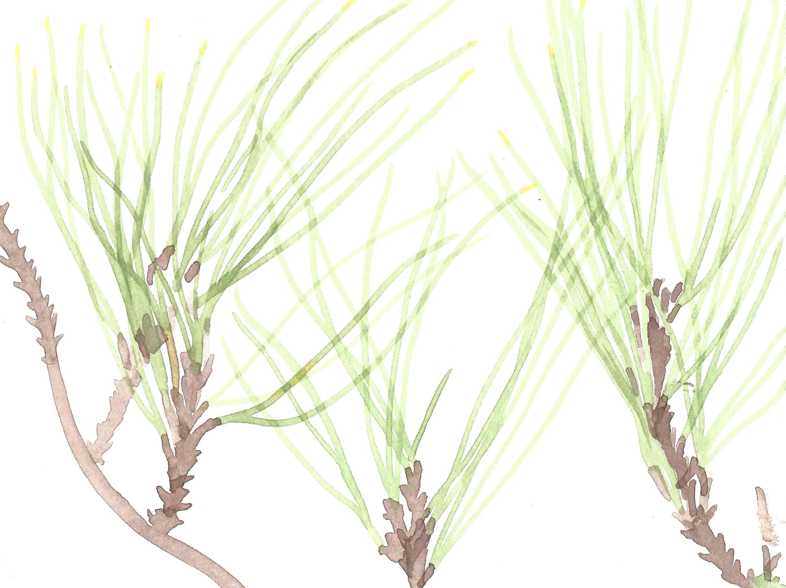 Bishop Pine (Pinus muricata)