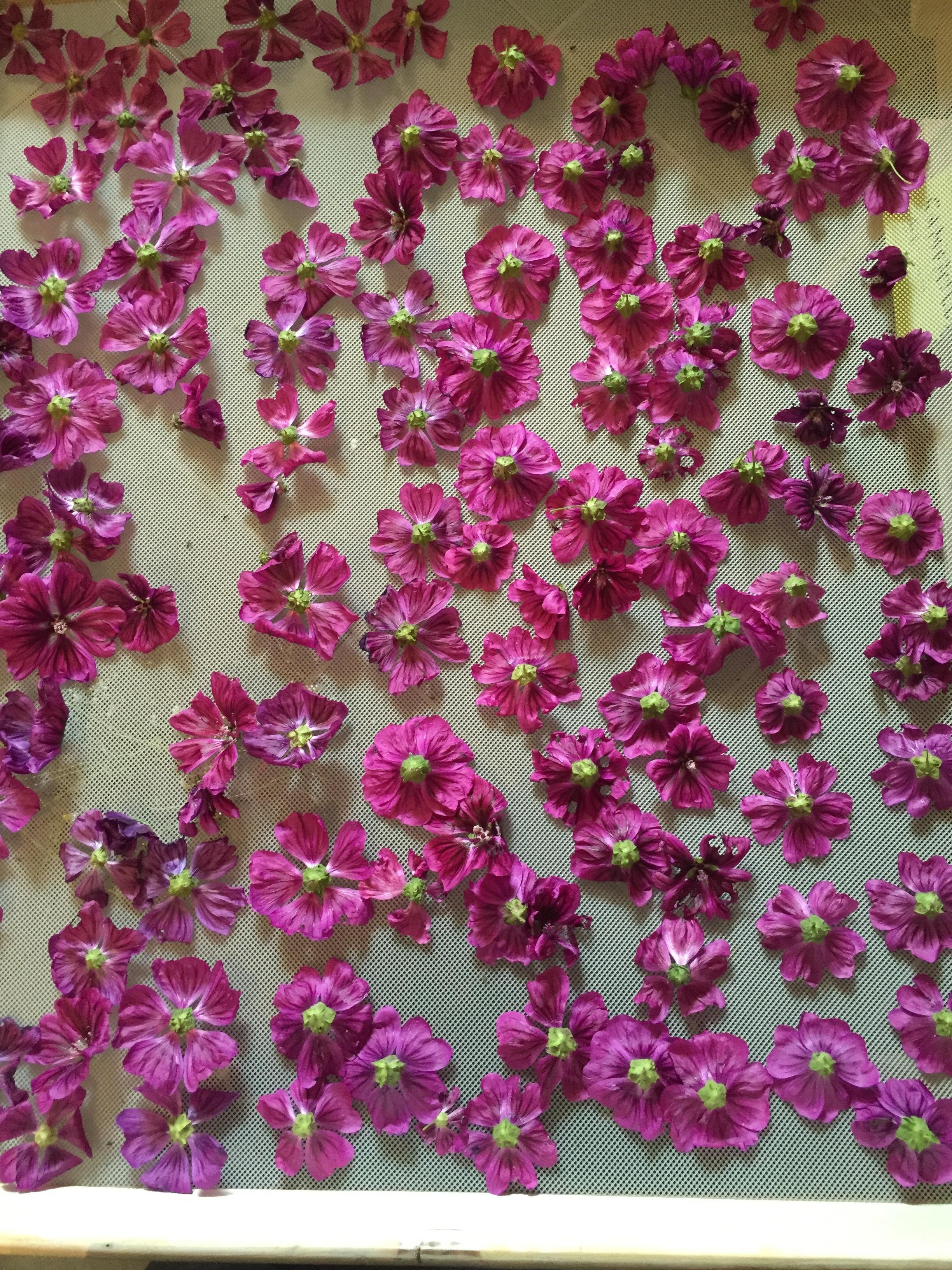 Malva Flowers Drying