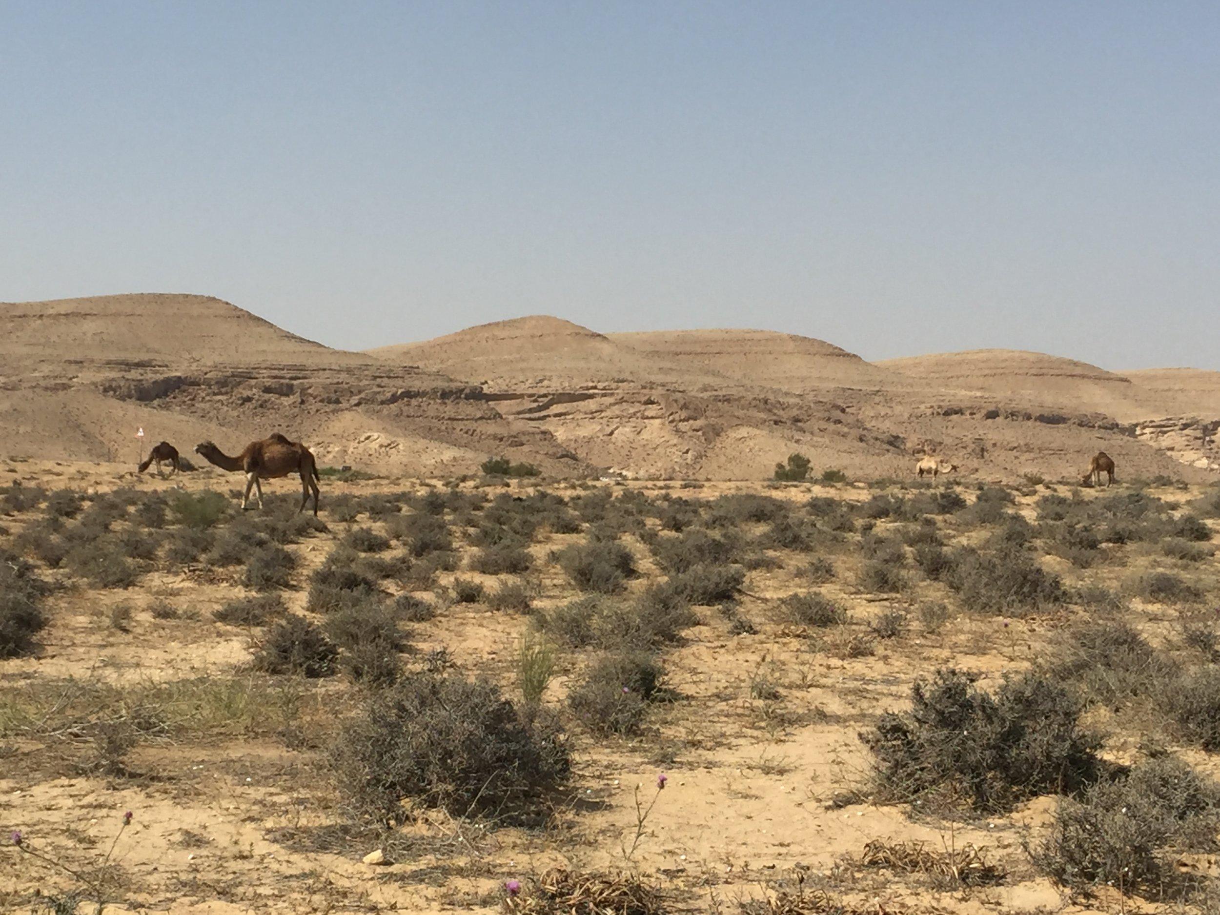 Camel in the Negev Desert, Israel