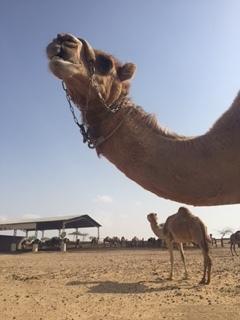 Our camel neighbors