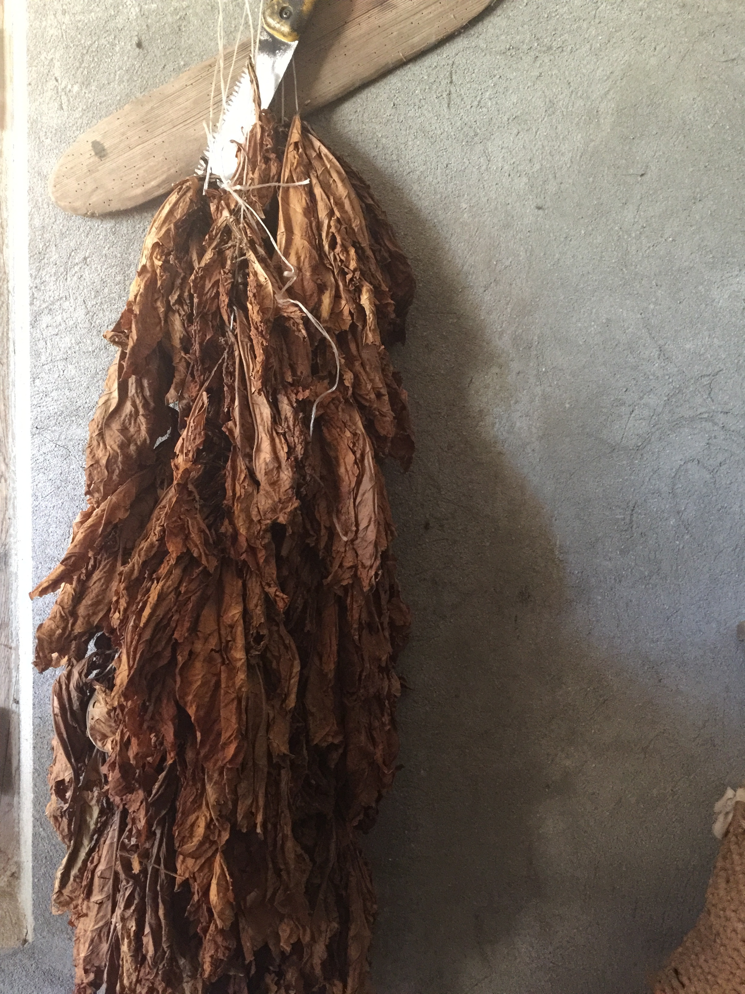 Tobacco drying at the guesthouse