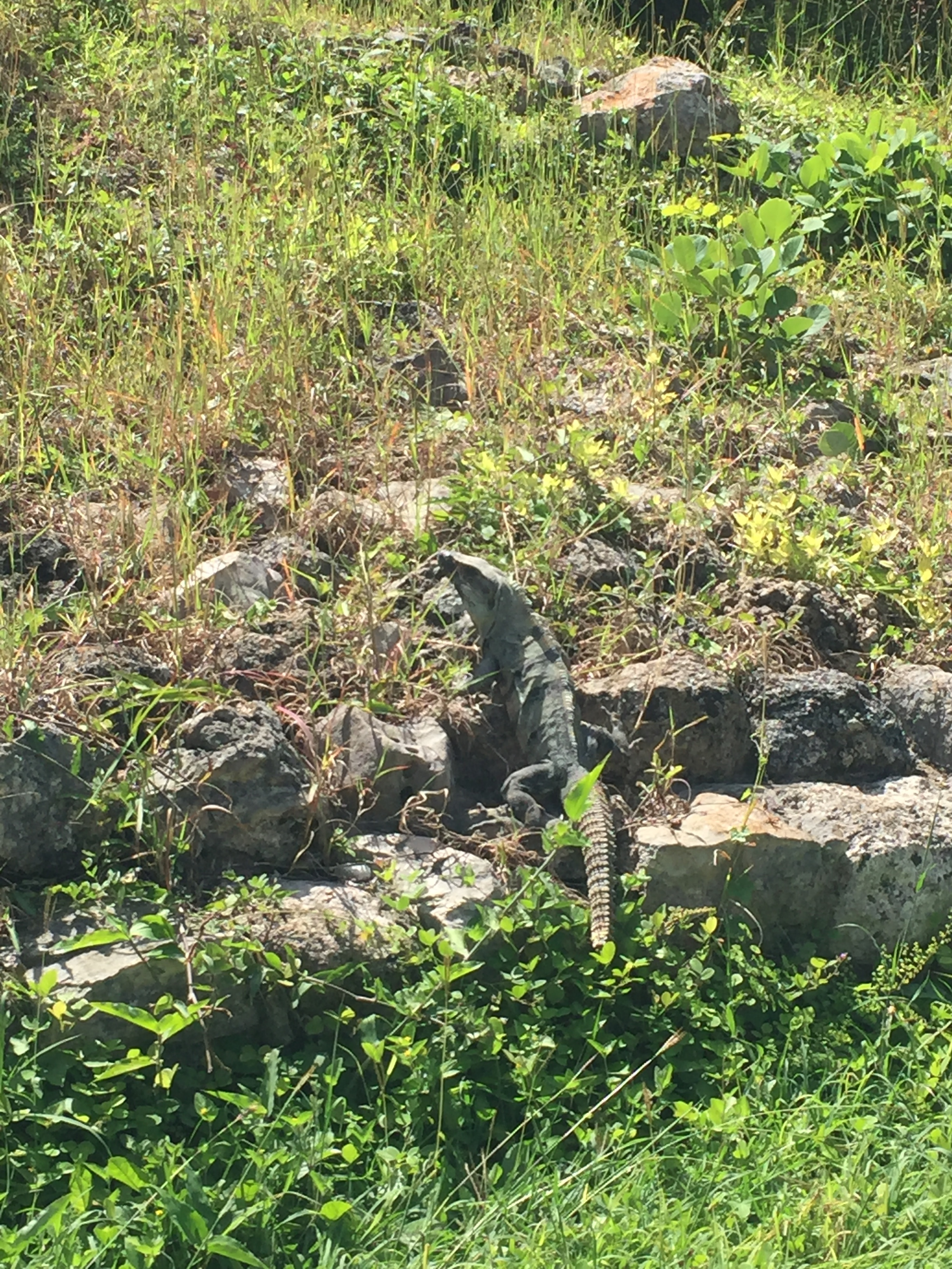 The iguana pretending he is invisible.