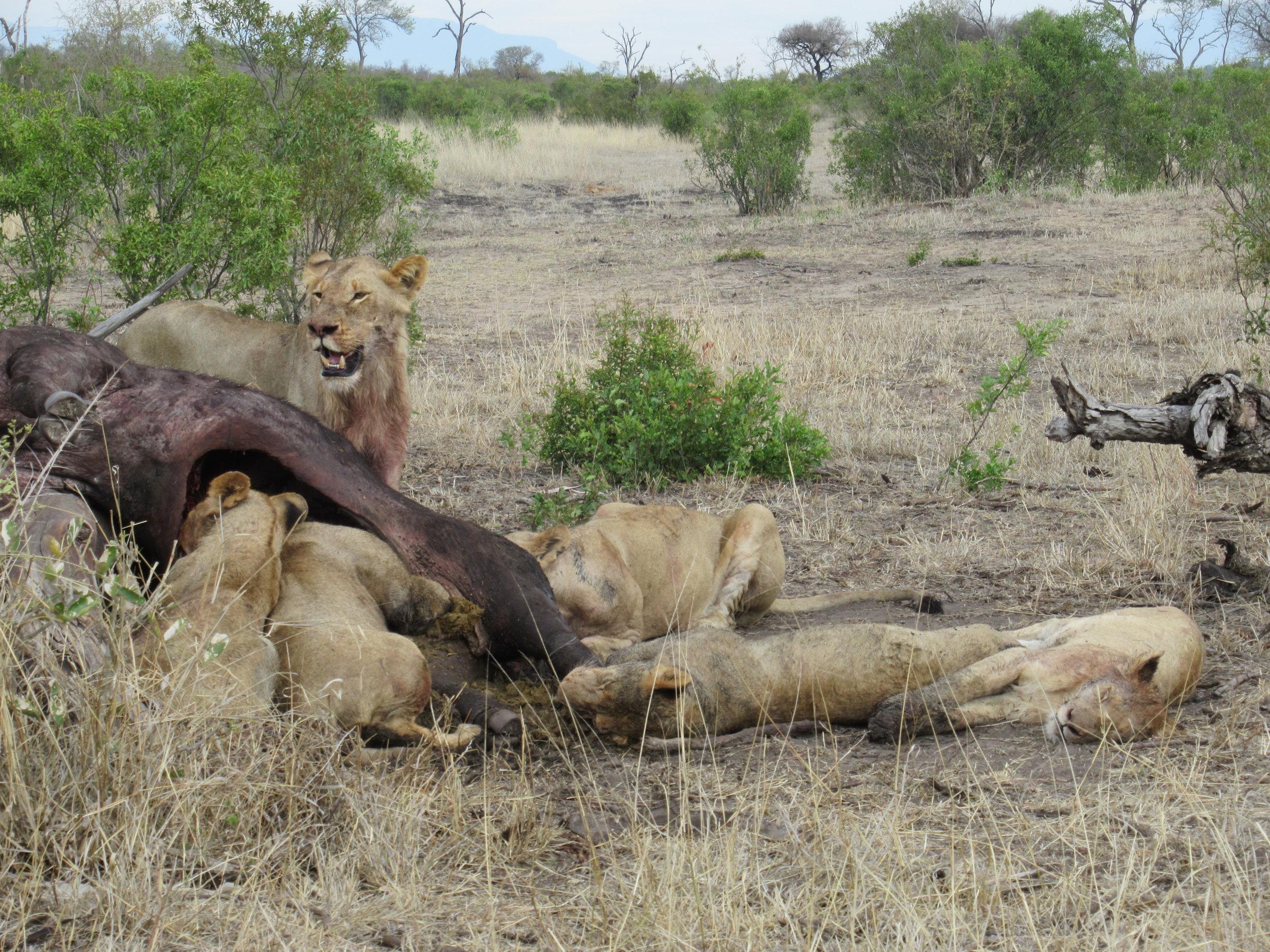Lion pride feasting on a buffalo