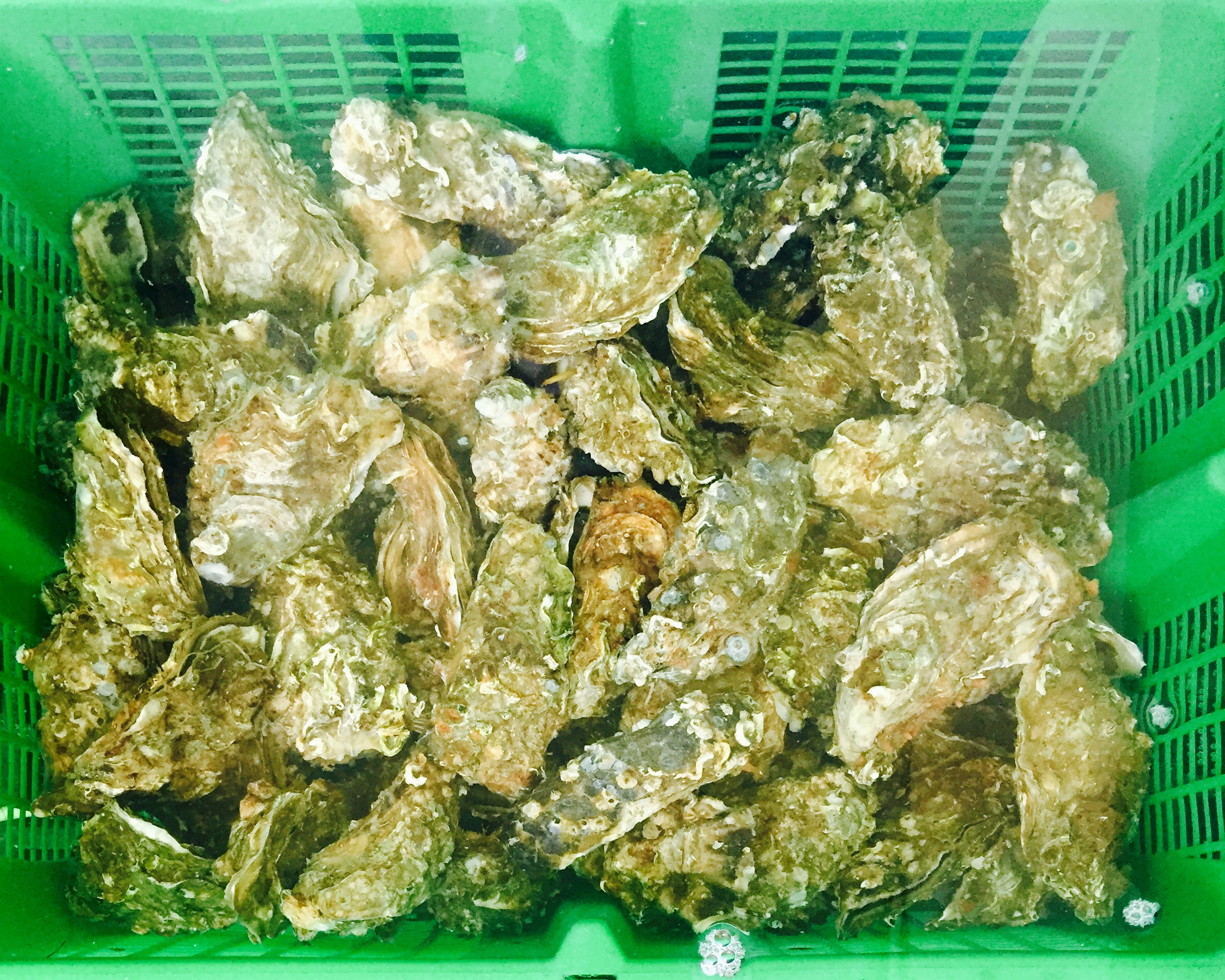 Box of Oysters in Brittany France.jpg