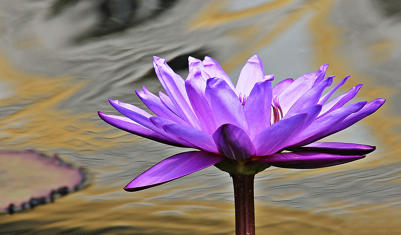water-lily-1540403_1280.jpg