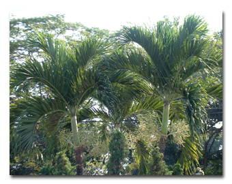 Andonia Palm.jpg