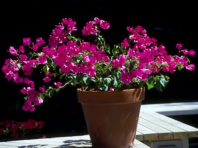 Bougainvillea in Pot.jpg