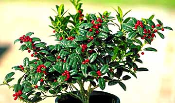 Dwarf Burfordii Holly.jpg