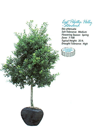 East Palatka Holly.JPG