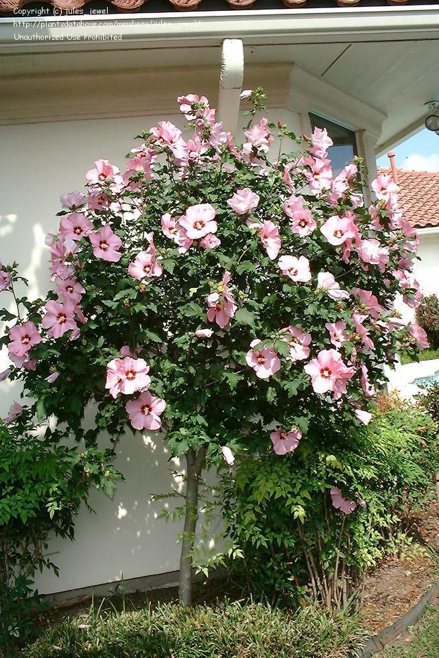 Hibiscus Tree.jpg
