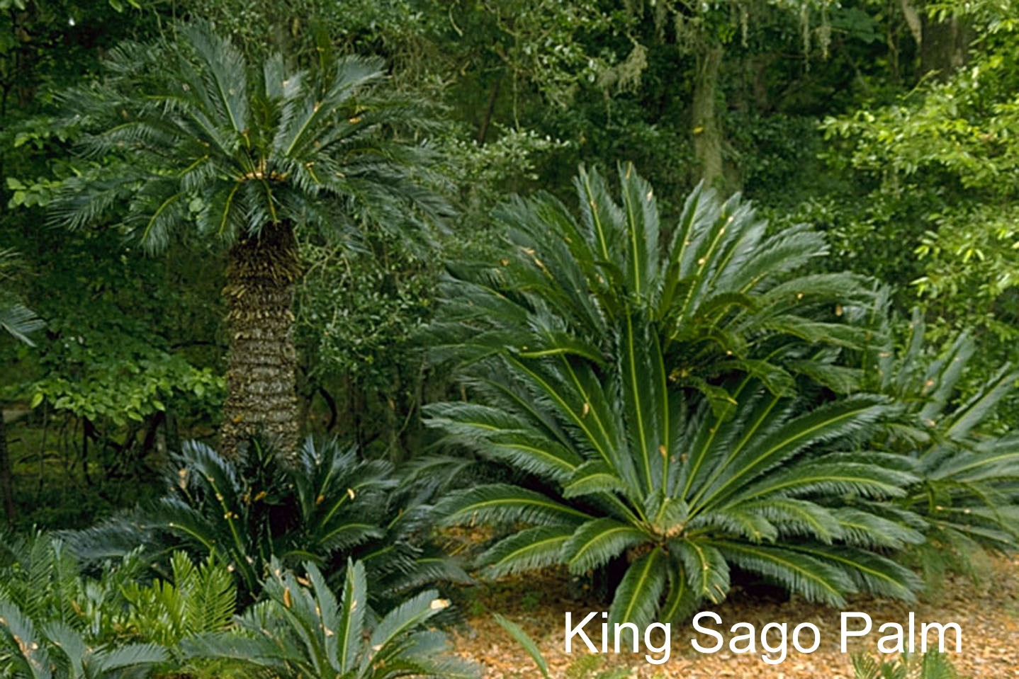 King Sago Palm.jpg