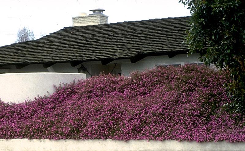 Lantana Purple.jpg