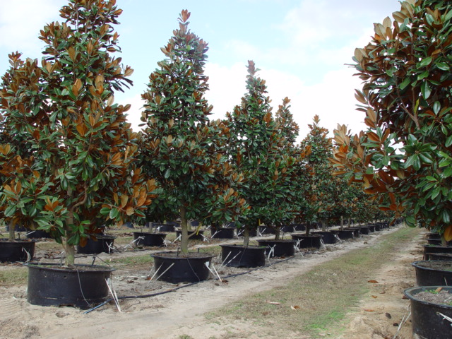 Magnolia 100 gal..JPG