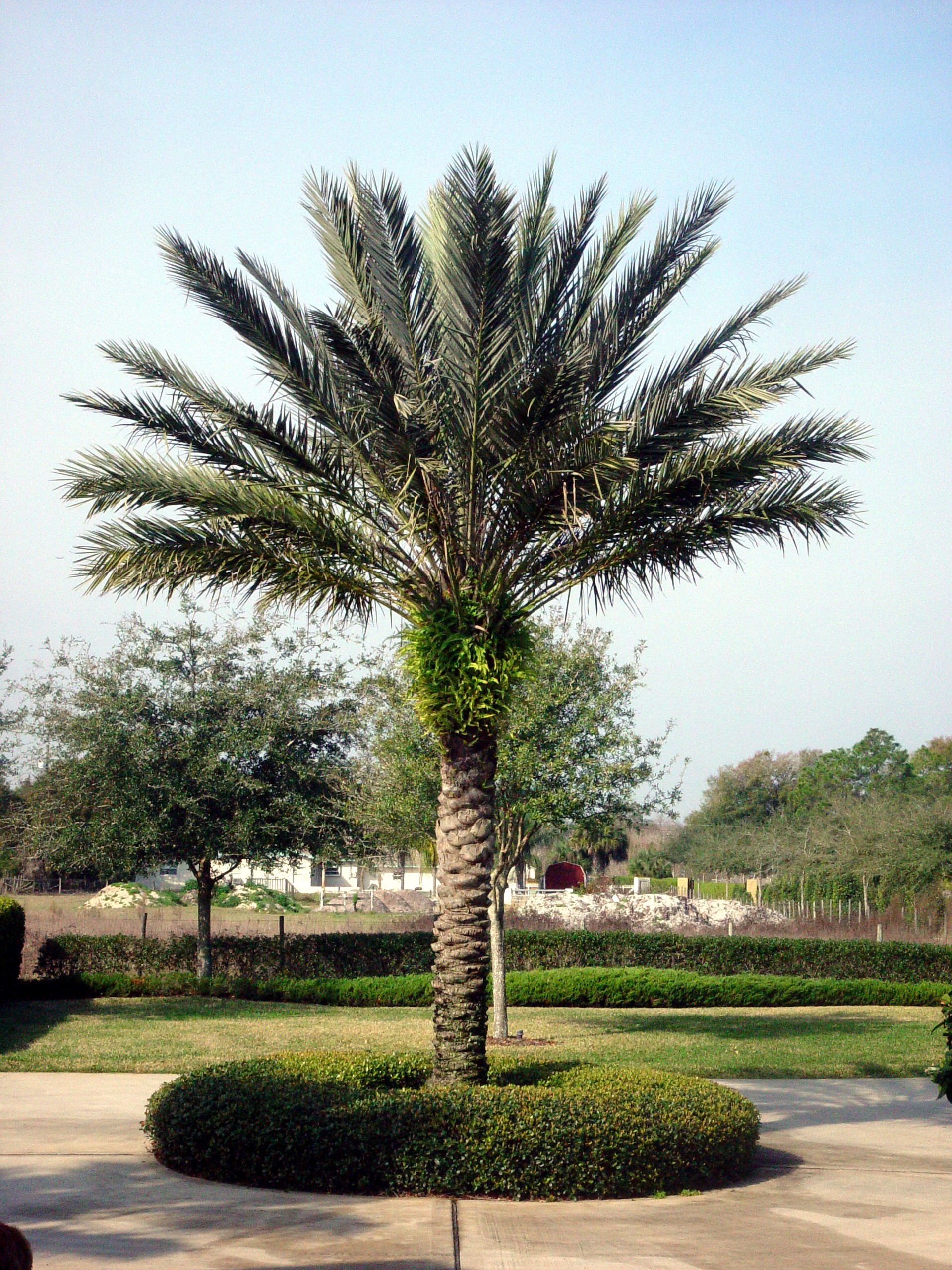 Medjool Palm.JPG