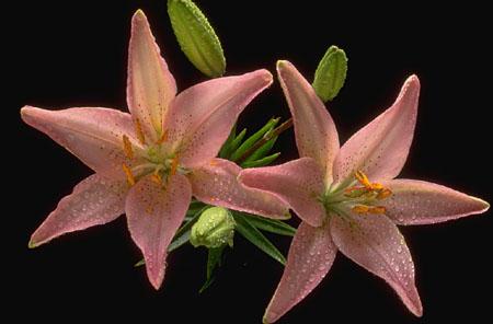 pink azalea flower.jpg