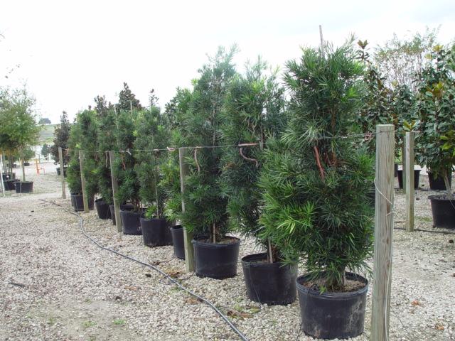 Podocarpus 30 gal..JPG