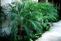 Pygmy Date Palm.jpg
