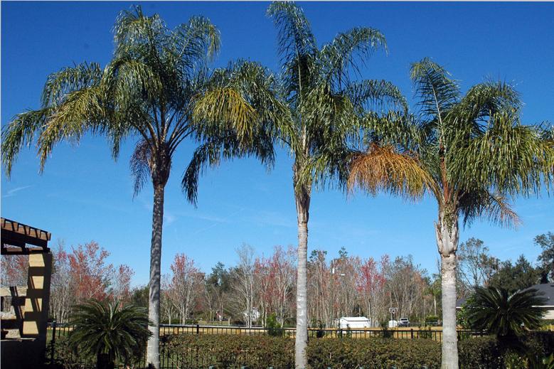 Queen Palms 3.JPG