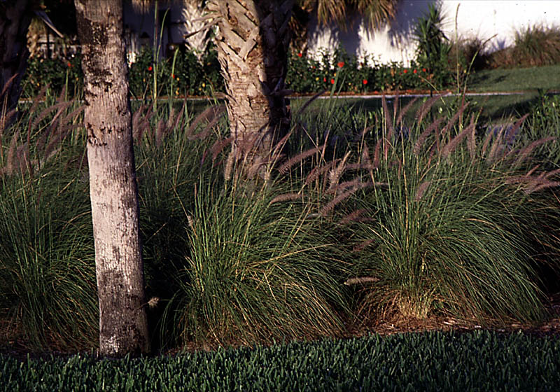 Red Fountain Grass.jpg
