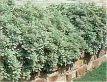 Variegated_Pittosporum hedge.jpg