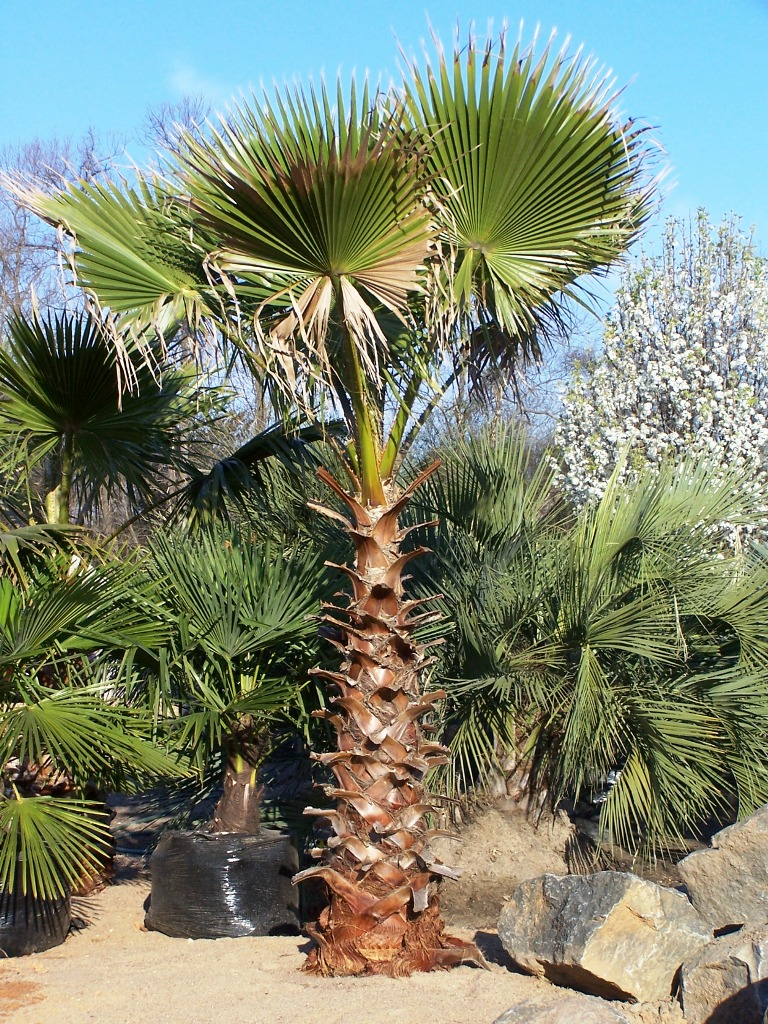 Washingtonian Palm 2.jpg