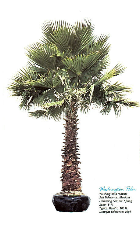Washingtonian Palm.jpg