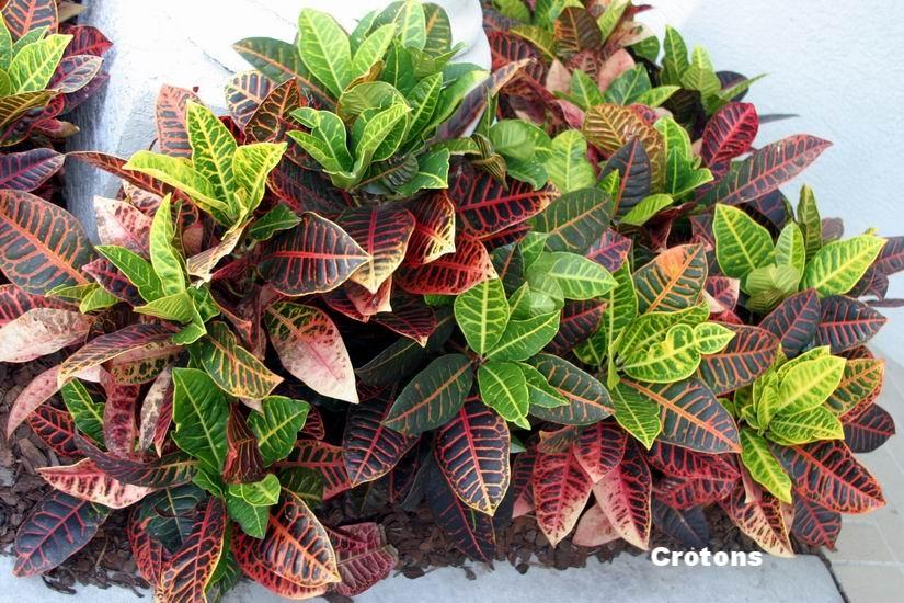 Crotons.jpg