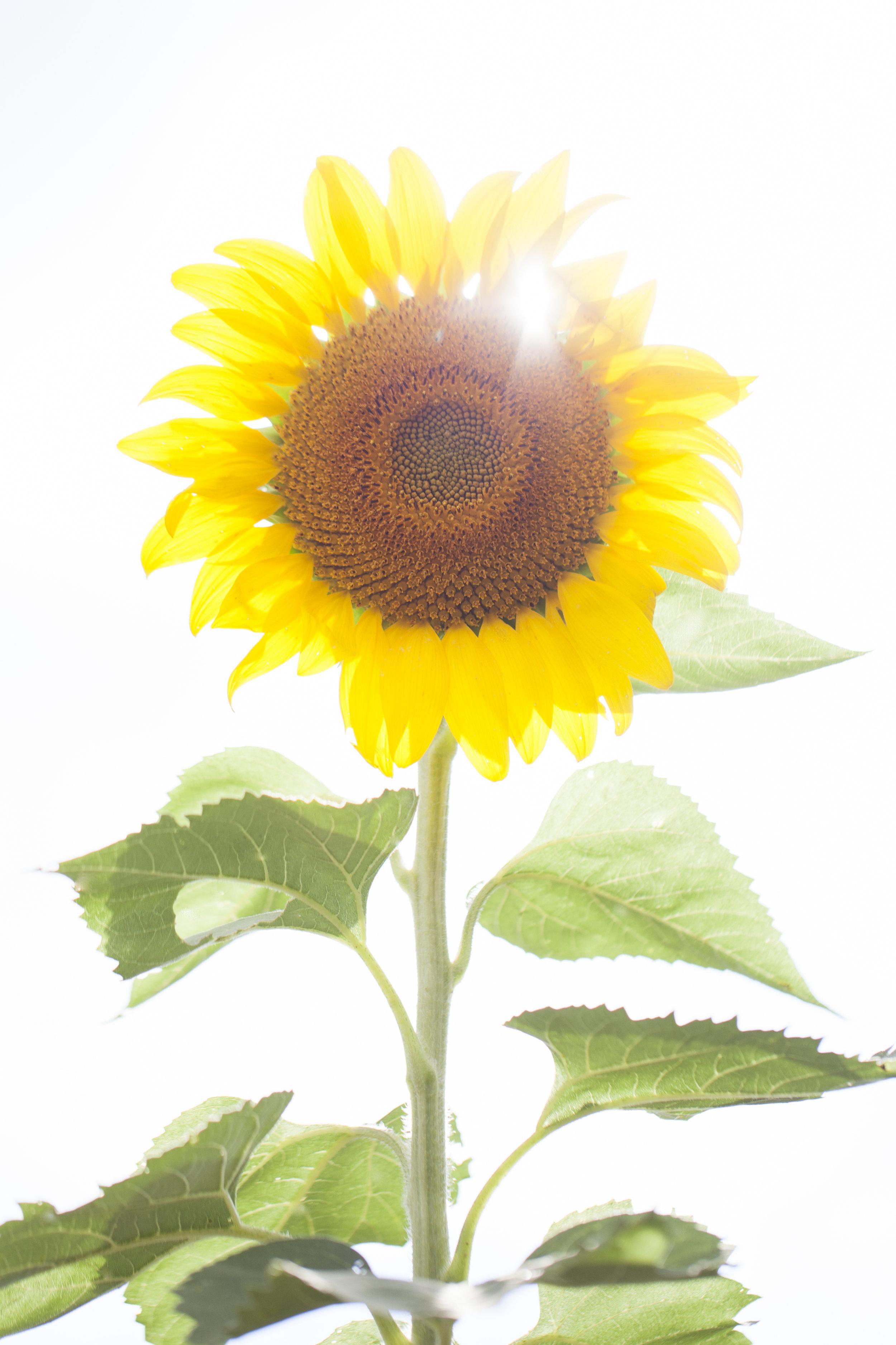 sunflower8.jpg