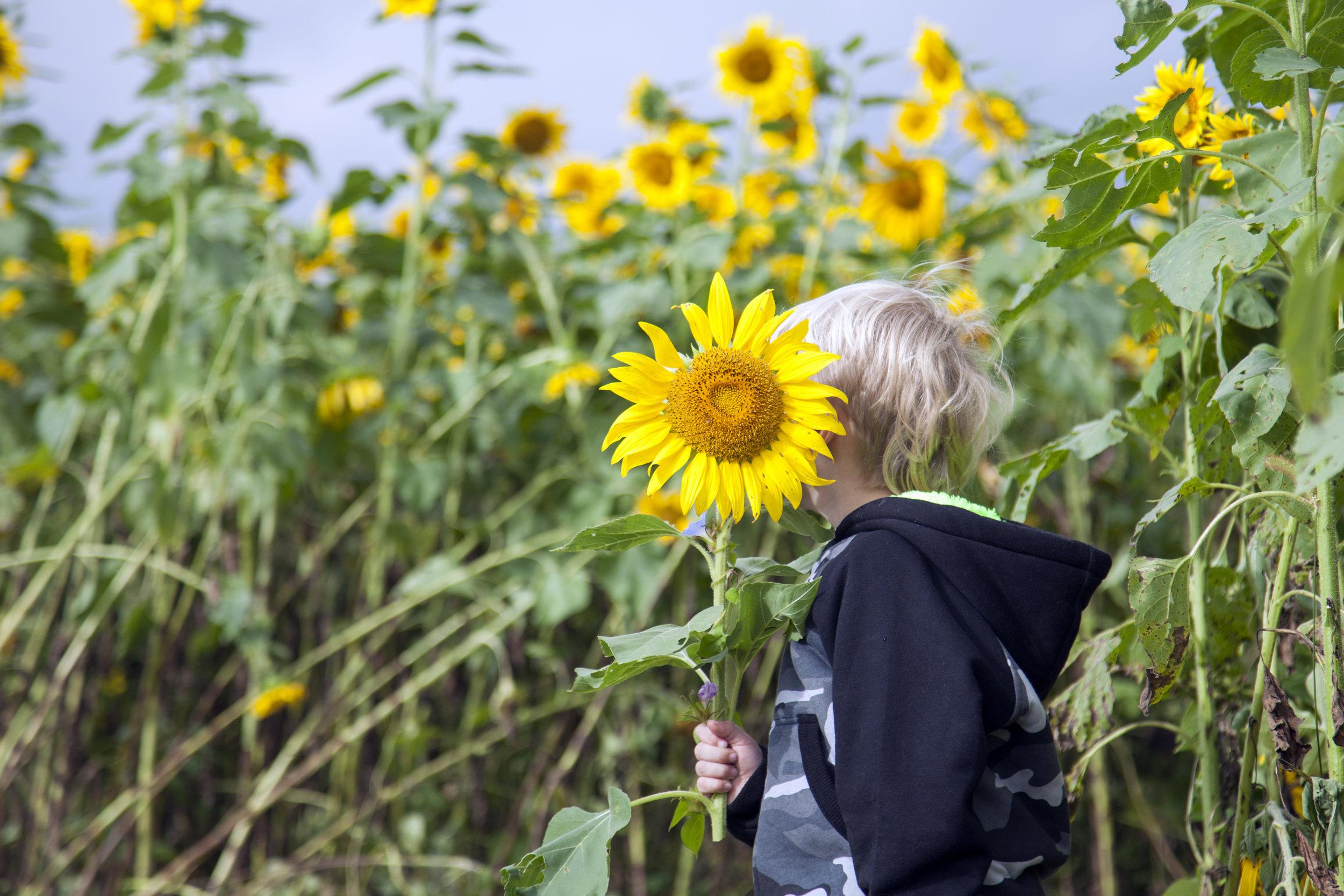 sunflower9.jpg