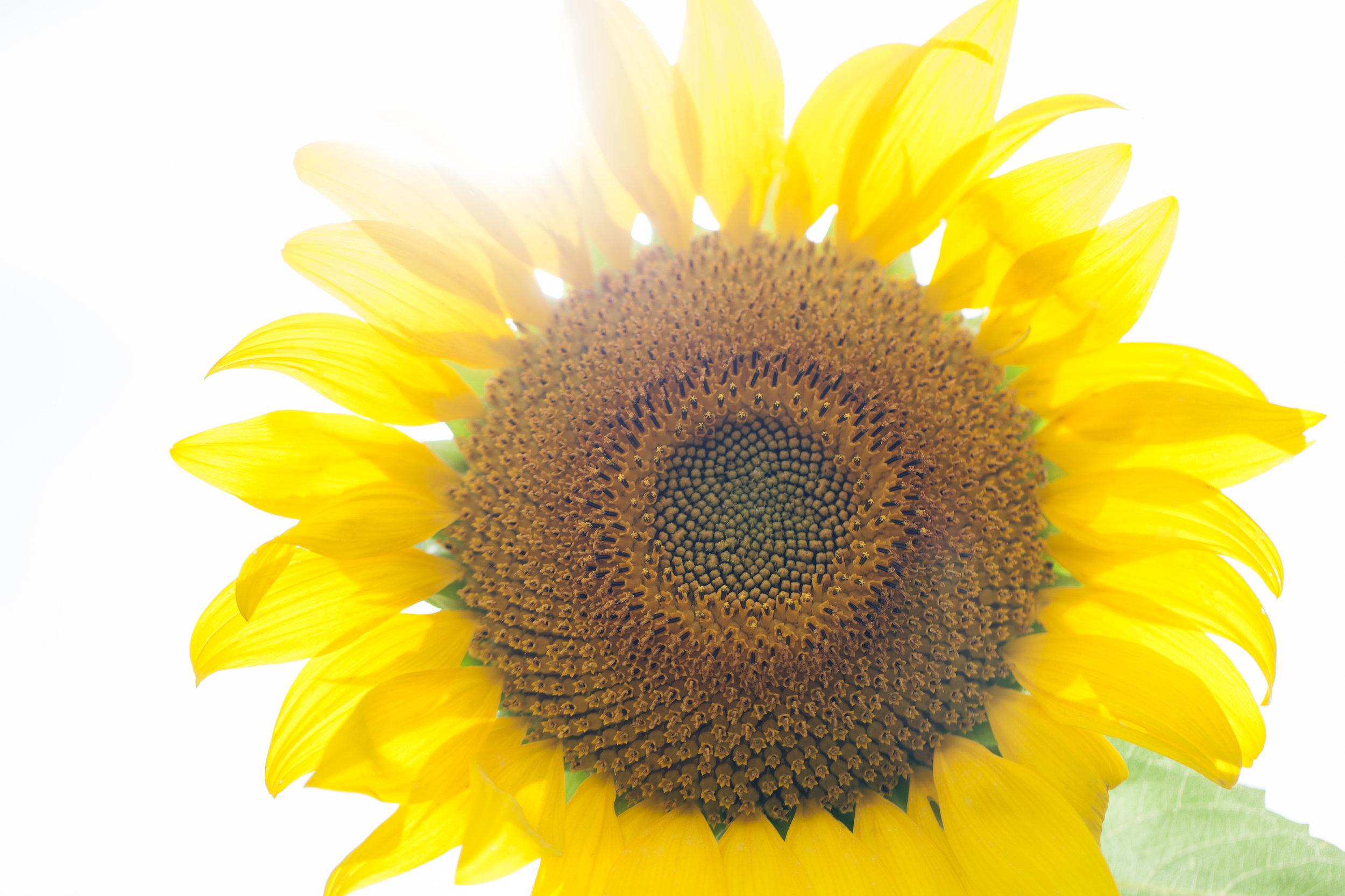 sunflower13.jpg