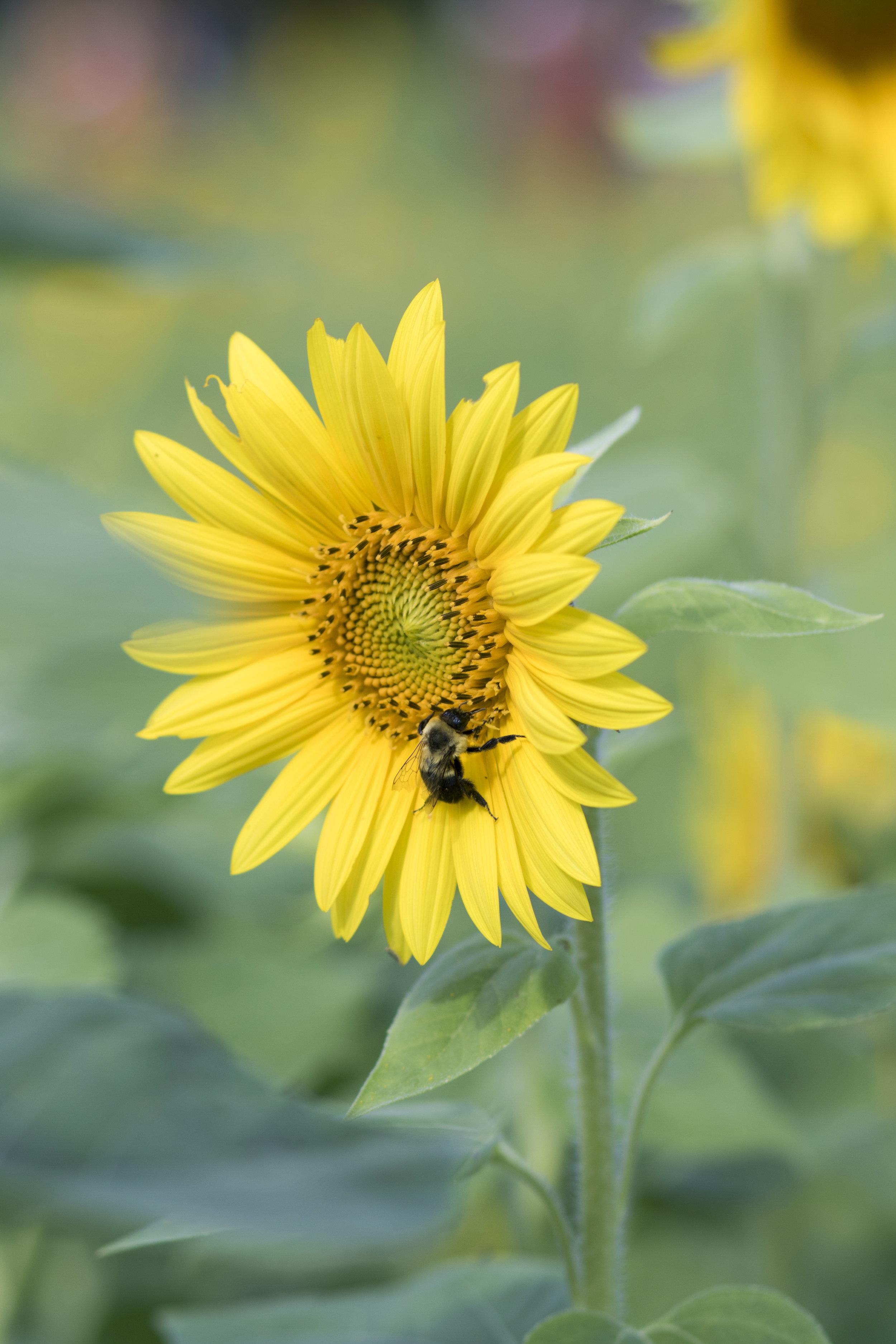 sunflower16.jpg