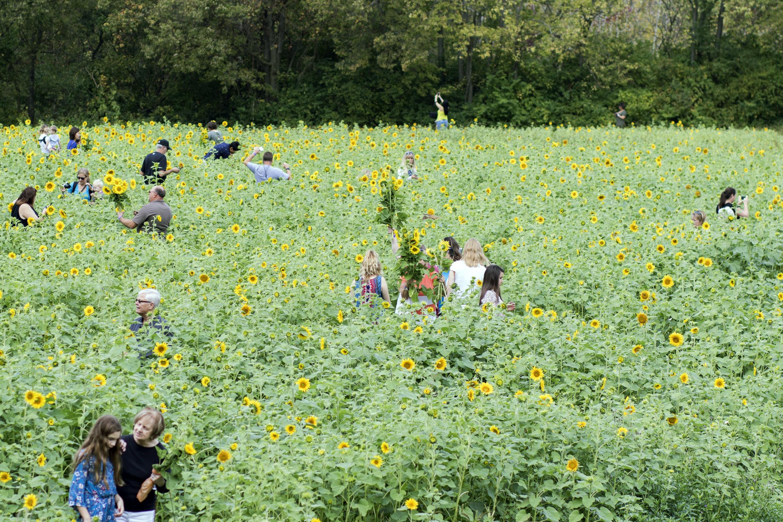sunflower17.jpg