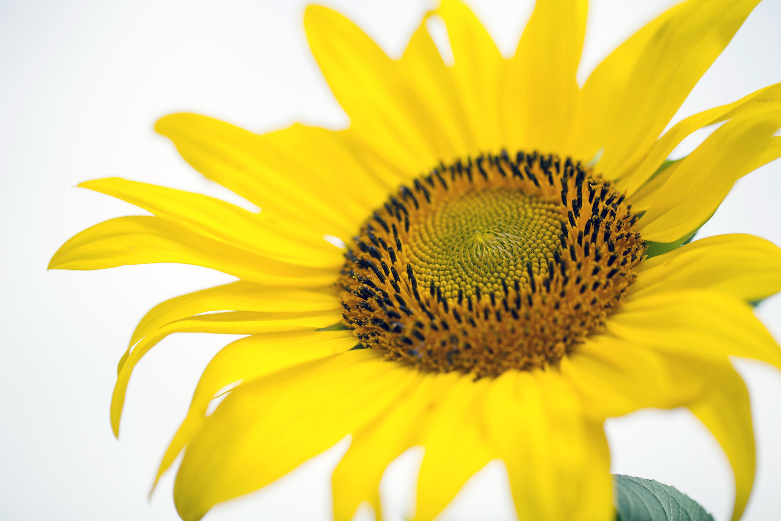 sunflower20.jpg