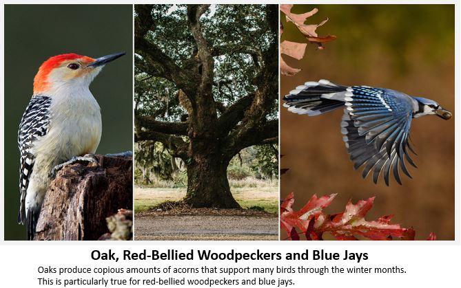 Oak-Birds.JPG