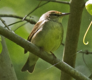 Swainsons Warbler - Dixie Sommers