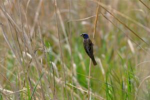 Blue Grosbeak in Grassland - Amy E. Johnson
