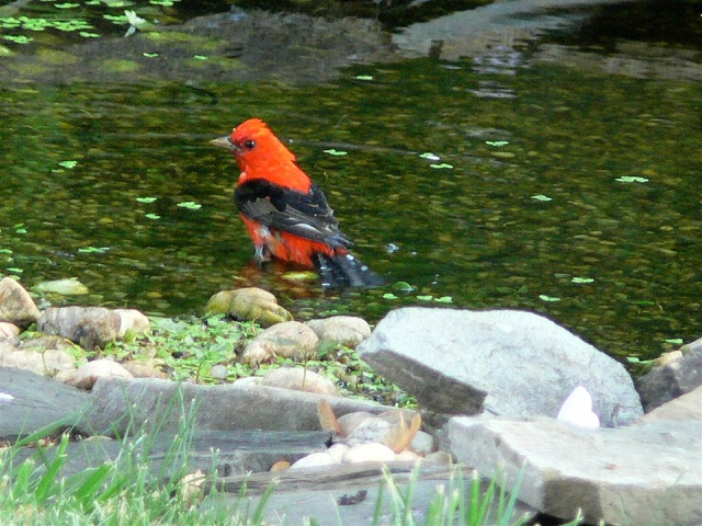 Scarlet Tanager in Back Yard Pond Jay Hadlock