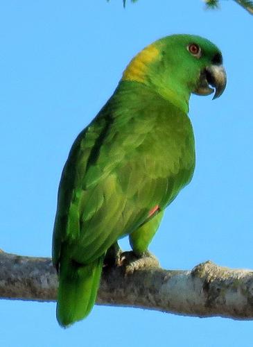 Yellow-naped Parrot - Jack Greenwood