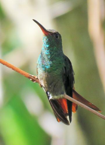 Rufous-tailed Hummingbird - Jack Green