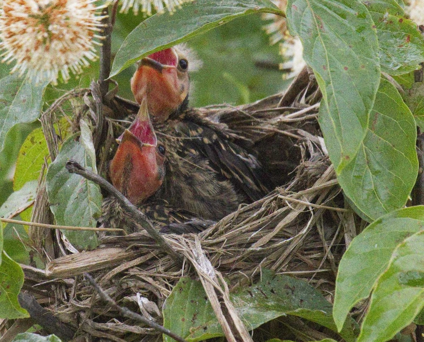 Red-winged Blackbird Chicks - Dixie Sommers