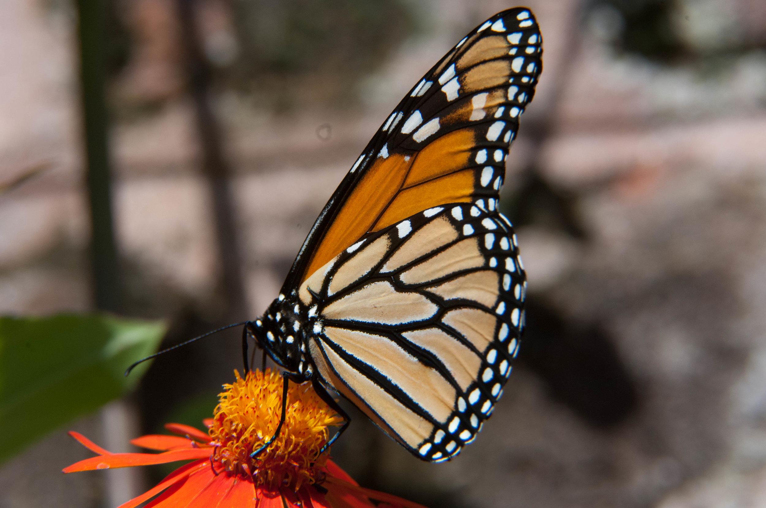 Monarch Butterfly - Sam Schaen