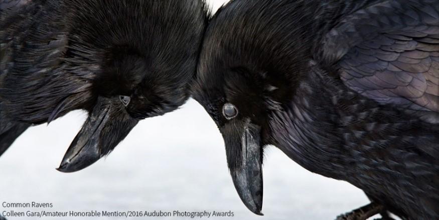 Amateur Honorable Mention - Colleen Gara - Common Ravens.jpg