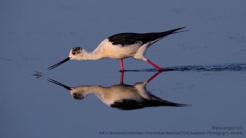 Amateur Honorable Mention - Artur Stankiewicz - Black-winged Stilt.jpg