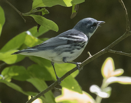 Cerulean Warbler - Dixie Sommers